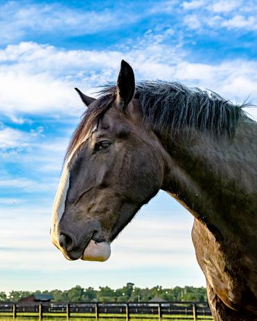 Percheron Draft Horse Head Profile Stock Photo - Download ...