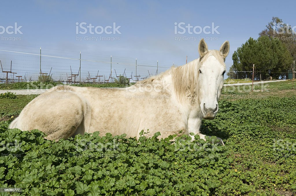 Percheron Laying Down in Grass royalty-free stock photo