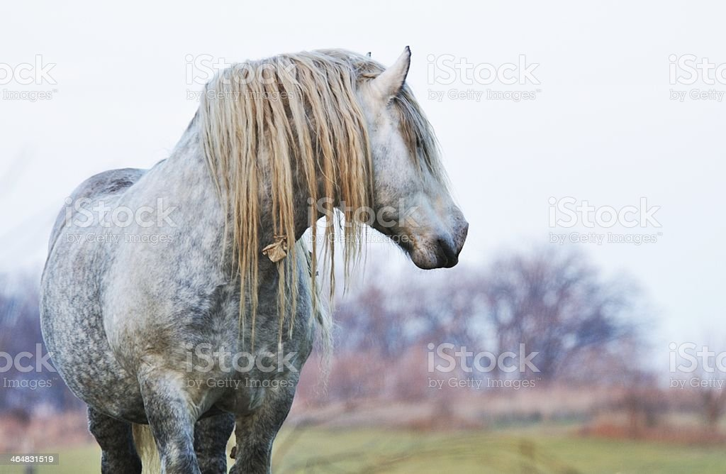 Percheron Staring stock photo