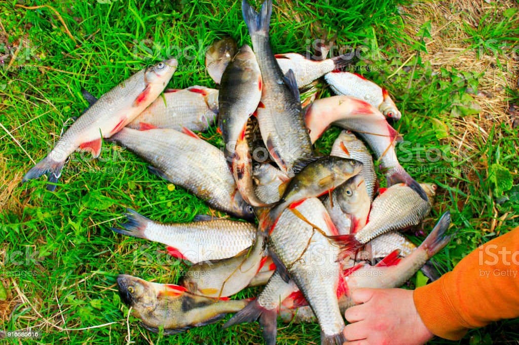Perches common nases breames and crucian. Successful fishing is a rich catch stock photo