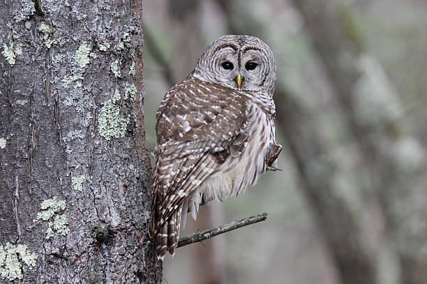 Best Barred Owl Stock Photos, Pictures & Royalty-Free Images