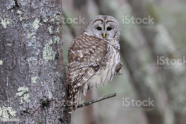 Photo of Perching Barred Owl