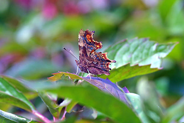 Perching Comma Butterfly stock photo