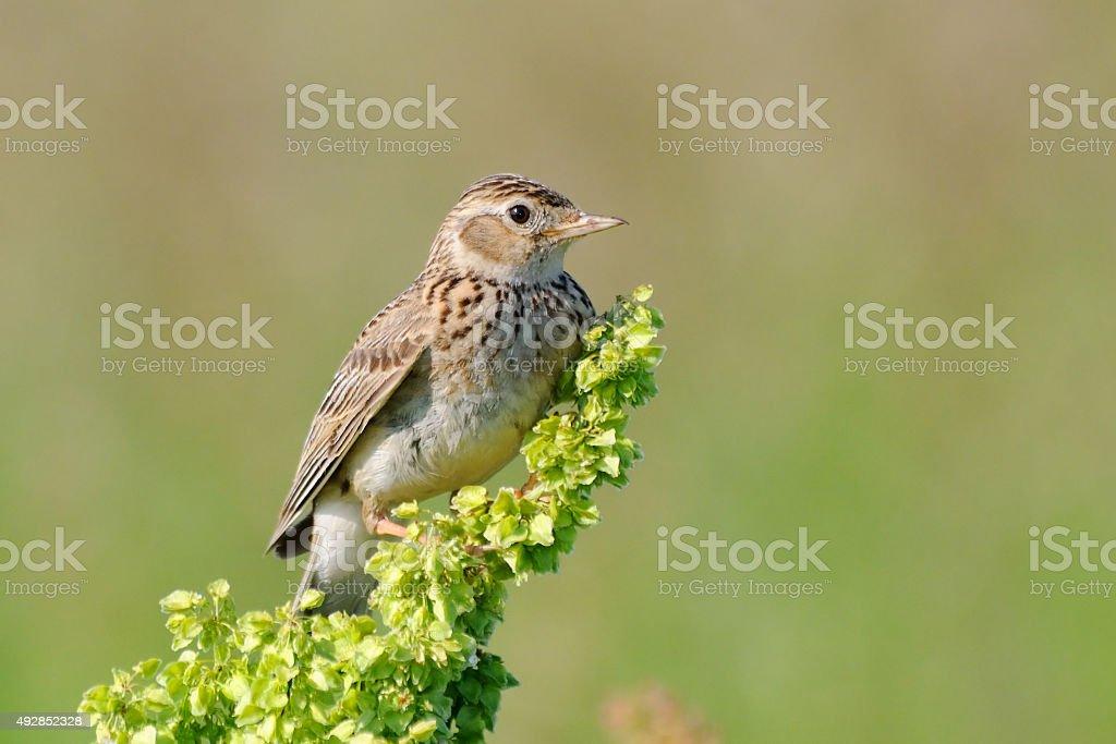 Perching Eurasian Skylark stock photo