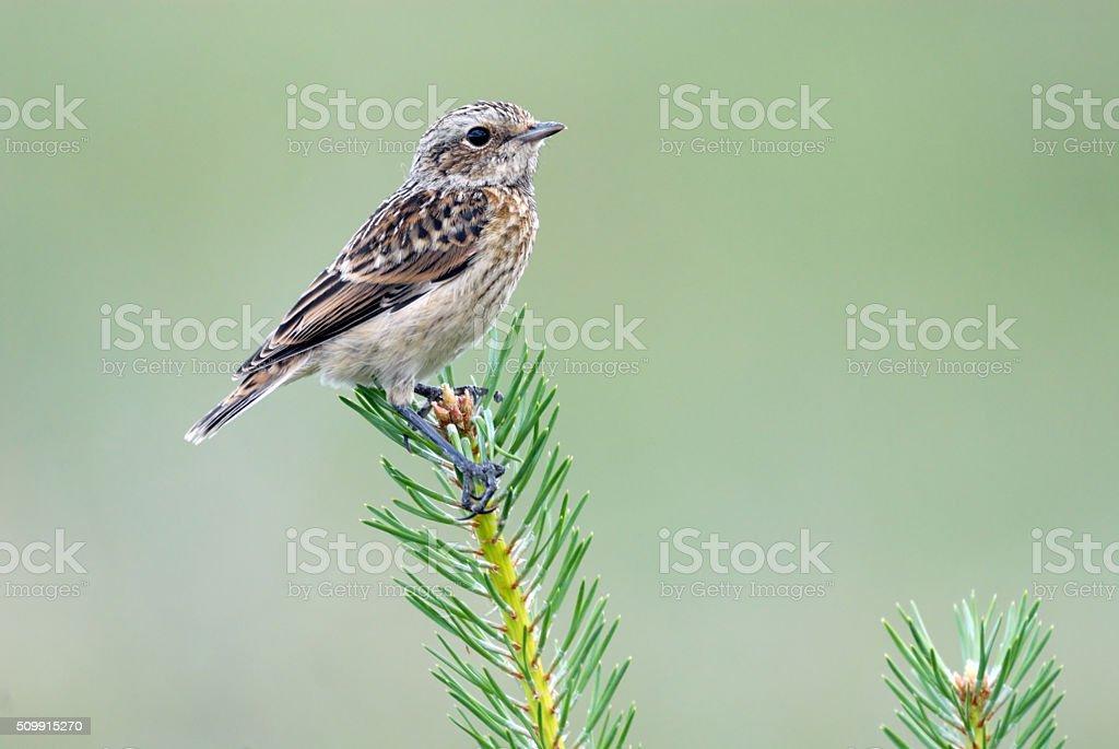Perching juvenile Whinchat at fresh fir branch stock photo