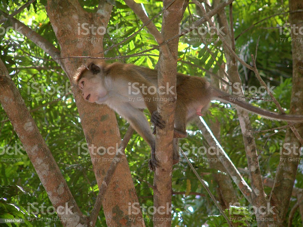 perching primate royalty-free stock photo
