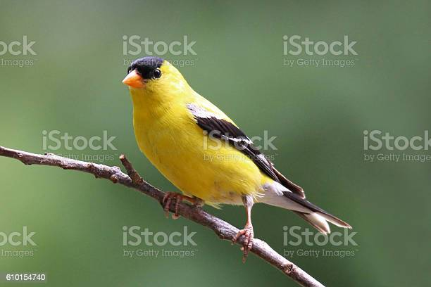 Photo of Perching Summer Goldfinch