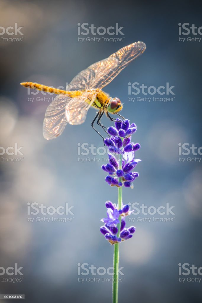 Perching Sympetrum Dragonfly on Lavender stock photo