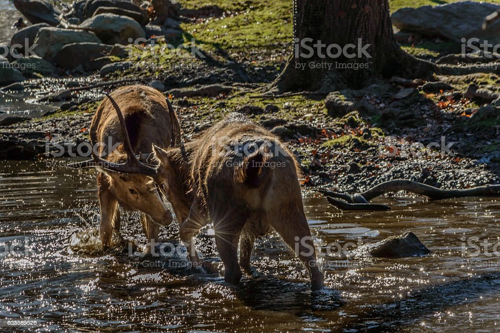 Pere David's Deer Fighting stock photo