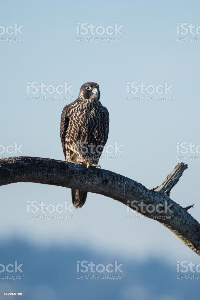 Peregrin Falcon Perched stock photo