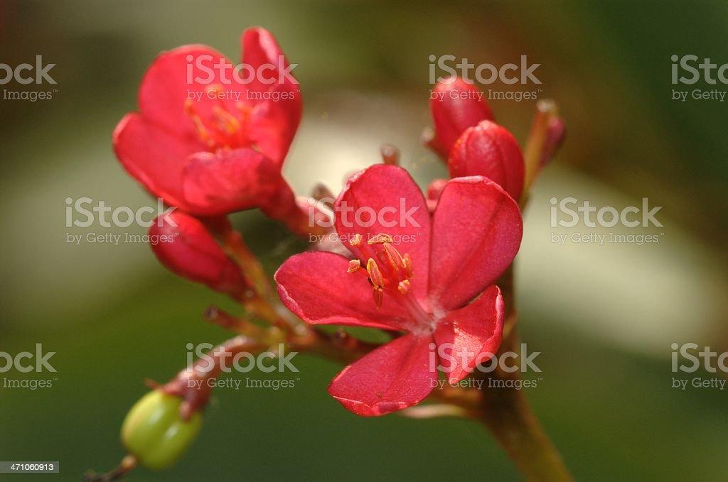 Peregrina flowers @ Singapore stock photo