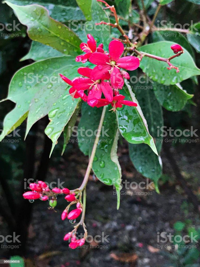 Peregrina of Spicy jatropha of Jatropha integerrima bloem. - Royalty-free Achtergrond - Thema Stockfoto