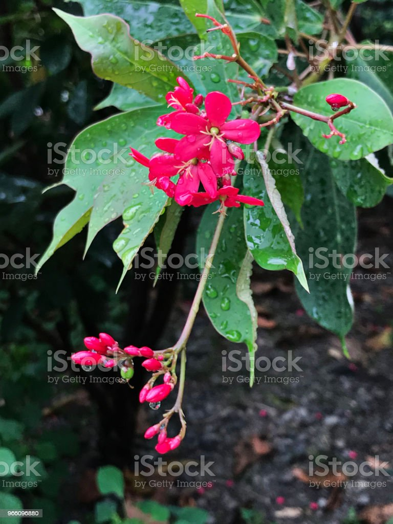 Peregrina or Spicy jatropha or Jatropha integerrima flower. - Royalty-free Ao Ar Livre Foto de stock