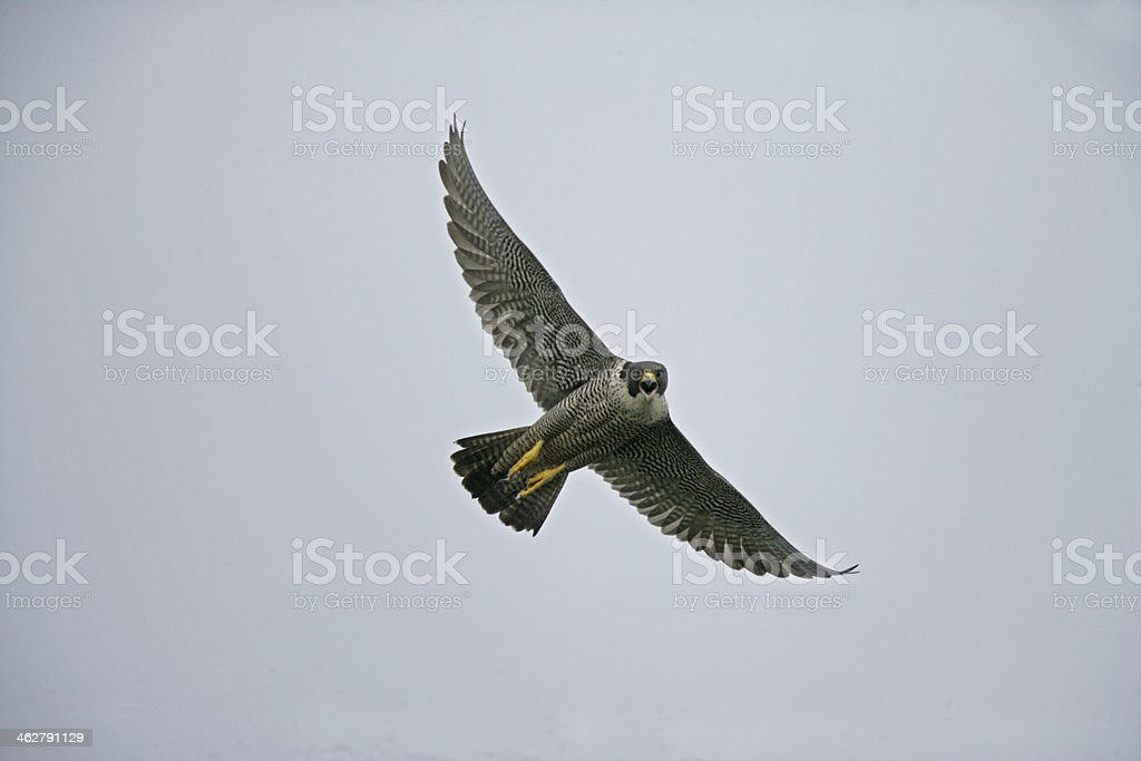 Peregrine, Falco peregrinus stock photo