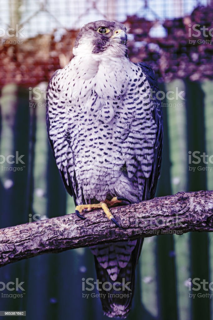 Peregrine Falcon, a large beautiful cards, strong Hawk, bird of prey in the wild. zbiór zdjęć royalty-free