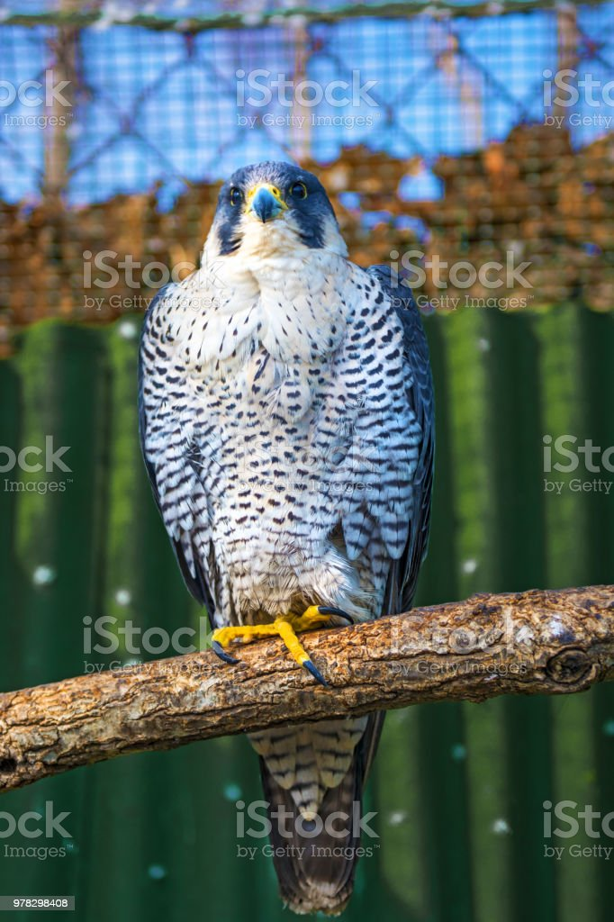 Peregrine Falcon, a large beautiful cards, strong Hawk, bird of prey in the wild. stock photo