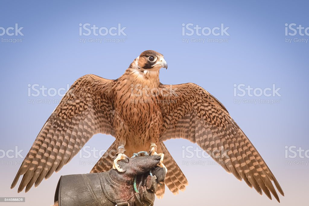 Peregrine Falcon Bedouin Settlement Uae Stock Photo - Download Image