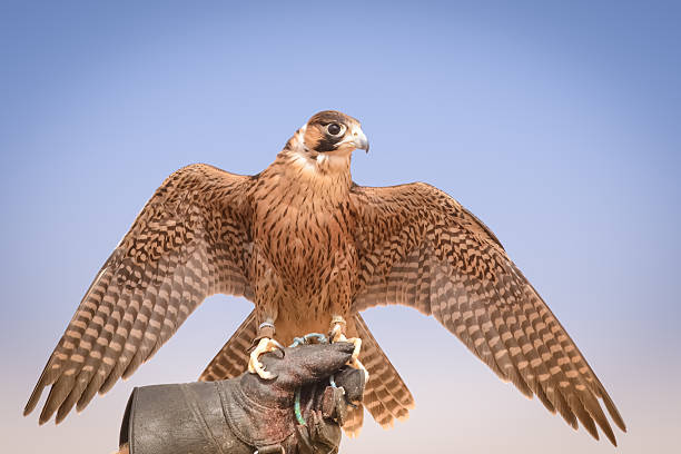 peregrine falcon, bedouin settlement, uae - falcon bird stock photos and pictures