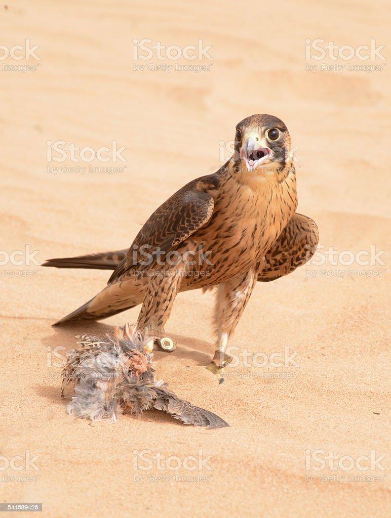 Peregrine Falcon, bedouin settlement, UAE stock photo