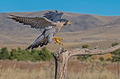 Peregrine Falcon in flight landing on branch with wings extended