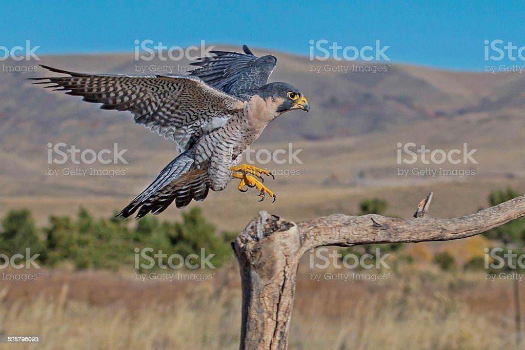 Peregrine Falcon Branch Landing stock photo
