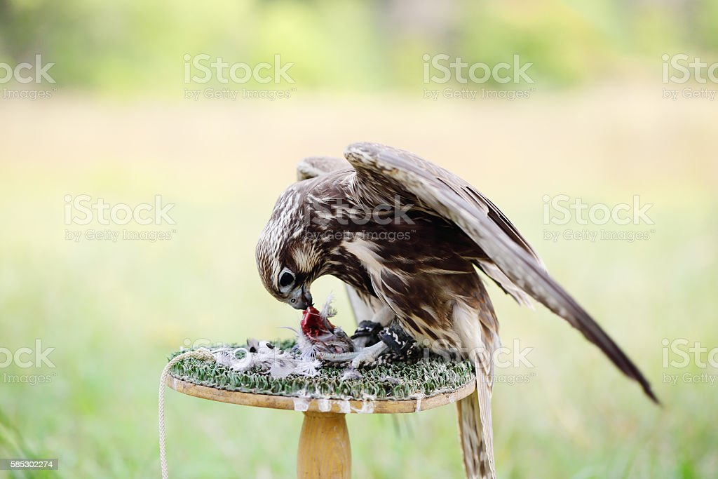 Peregrine Falcon eating a pigeon stock photo