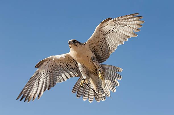 peregrine falcon flying in a desert near dubai - falcon bird stock photos and pictures