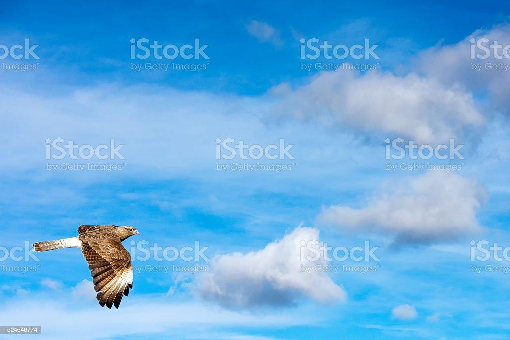 Peregrine falcon flying on th sky stock photo