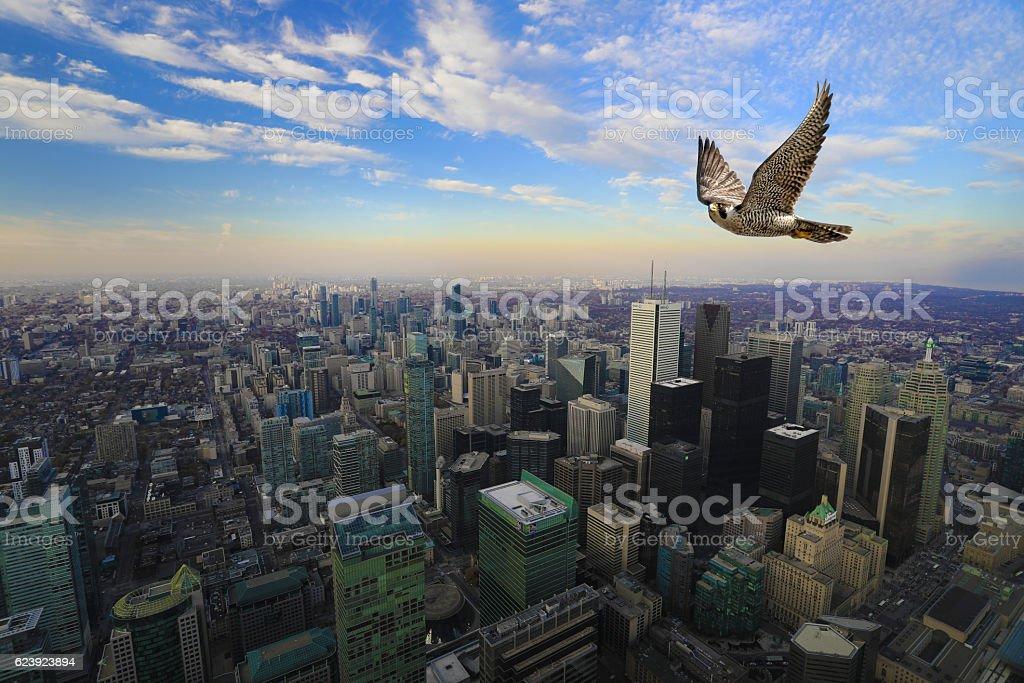 Peregrine Falcon in flight high over Toronto city center stock photo