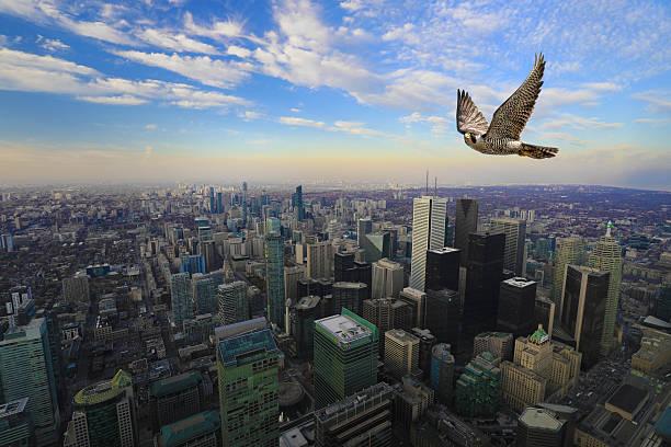 peregrine falcon in flight high over toronto city center - falcon bird stock photos and pictures