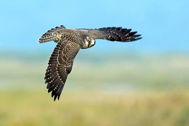 Peregrine Falcon in Flight stock photo