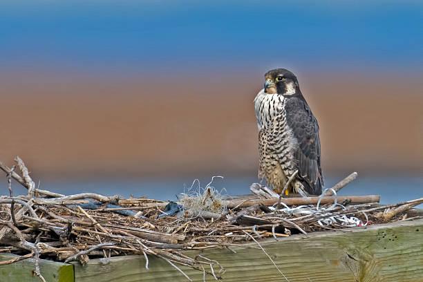 Peregrine Falcon in Nest stock photo