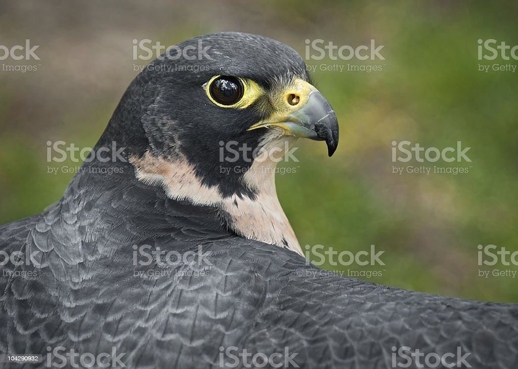 Peregrine Falcon (Falco peregrinus) Outstretched Wings stock photo