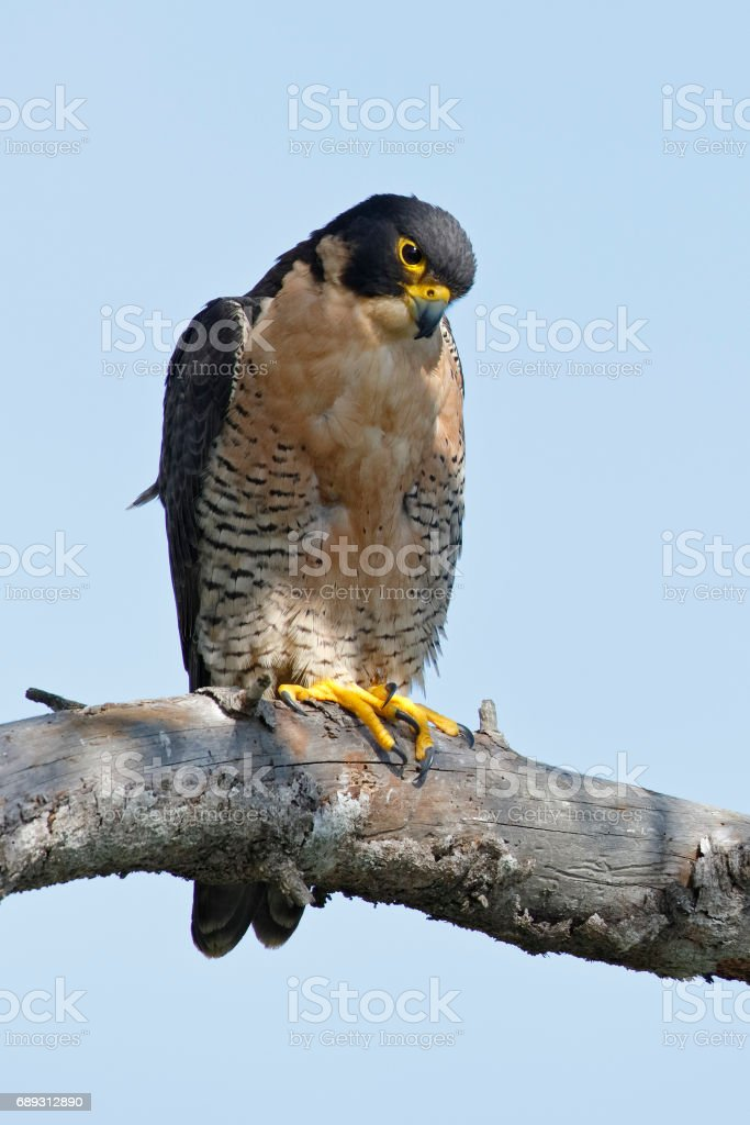 Peregrine Falcon perched in a tree - San Diego stock photo