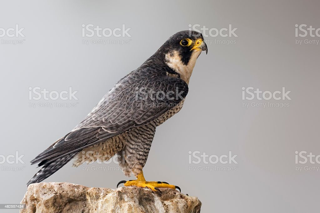 Peregrine Falcon perched on a rock stock photo