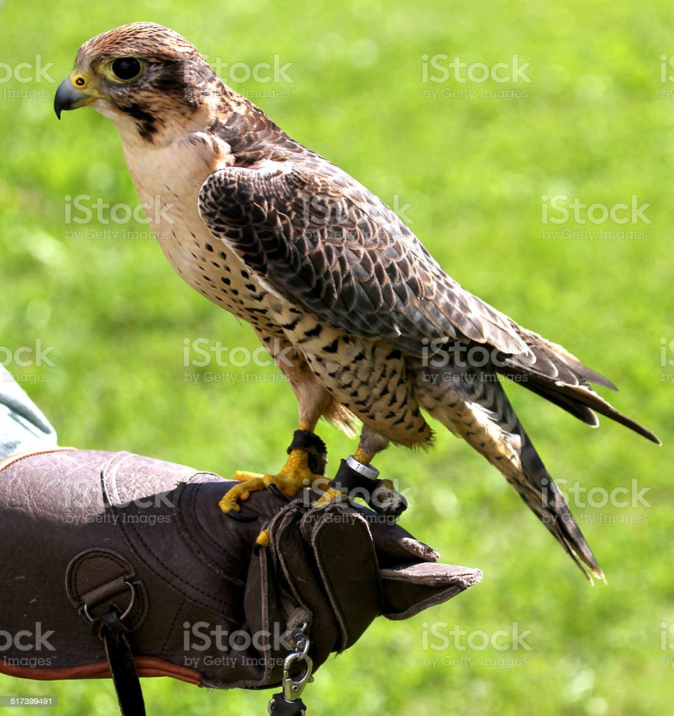 Peregrine Falcon perched on protective glove Falconer during a d stock photo