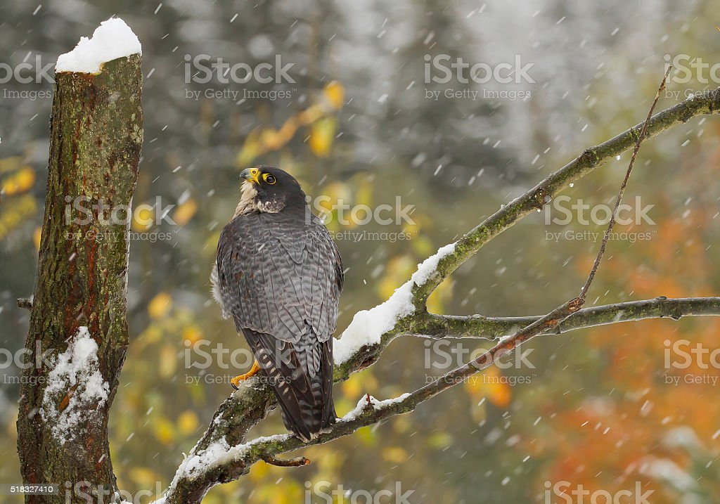 Peregrine falcon perching on the tree stock photo
