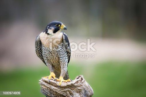 istock Peregrine Falcon 1032674926