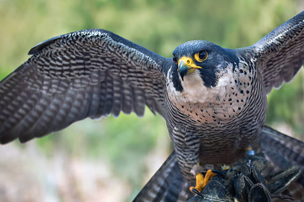 peregrine falcon - animals in captivity stock pictures, royalty-free photos & images