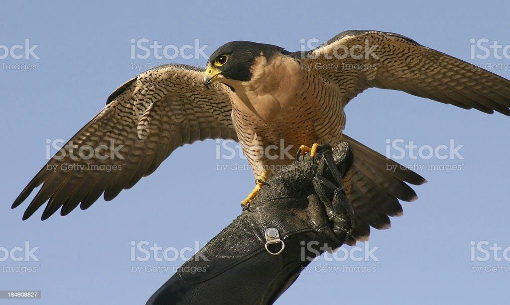 Peregrine Falcon royalty-free stock photo