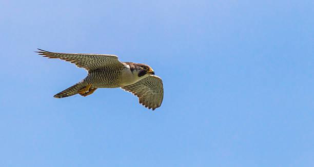 peregrine falcon - falcon bird stock photos and pictures