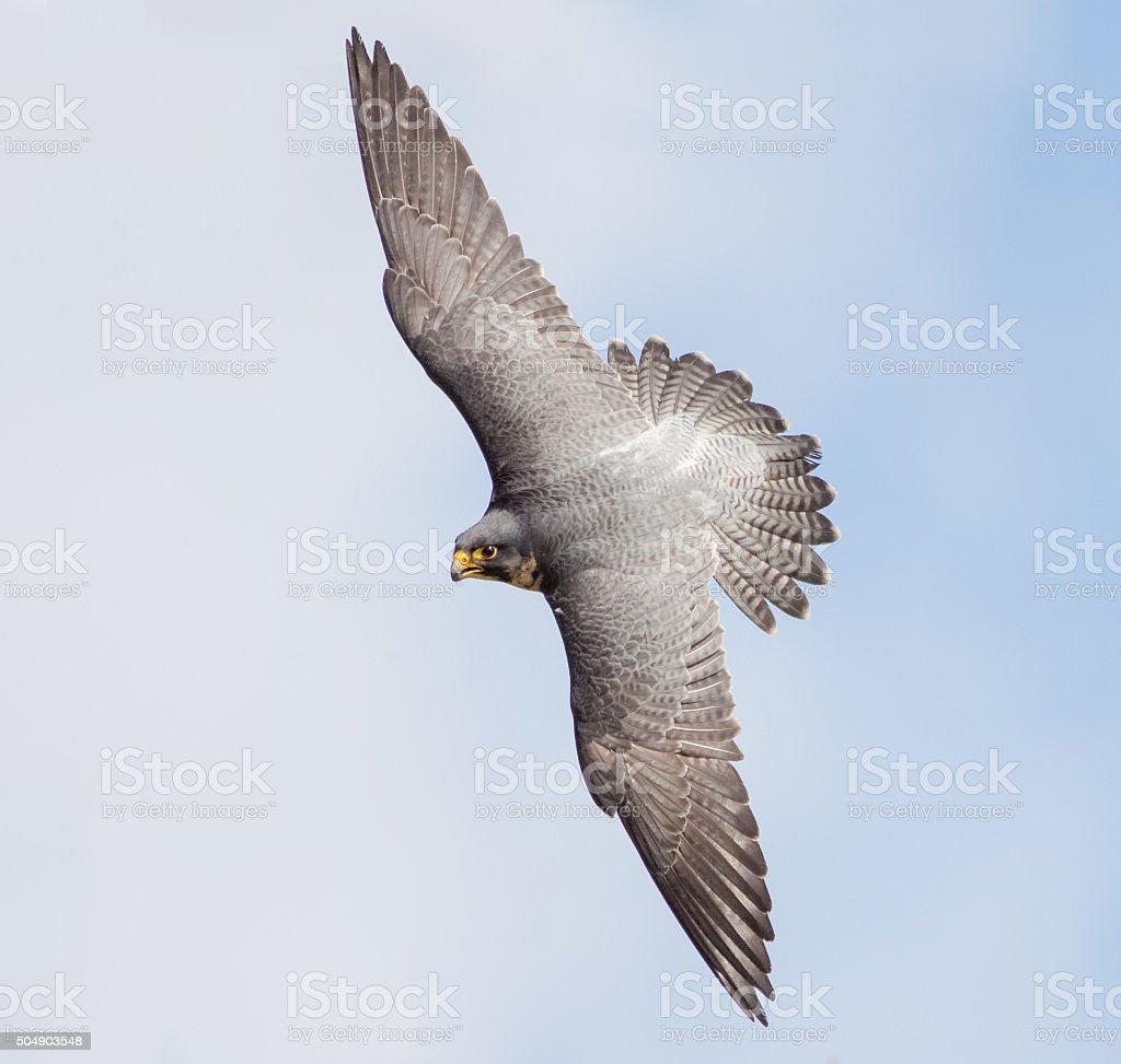 Peregrine Falcon (Falco peregrinus) stock photo