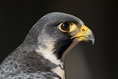 Extreme close-up of falcon head
