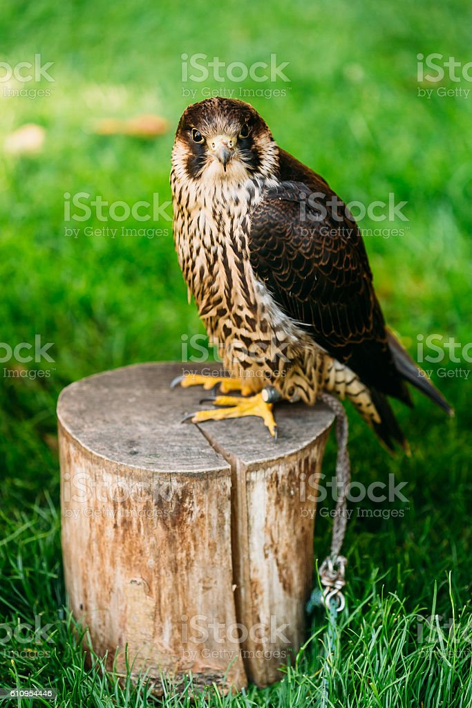 Peregrine Falcon Sit On Stumo On Green Grass Background stock photo