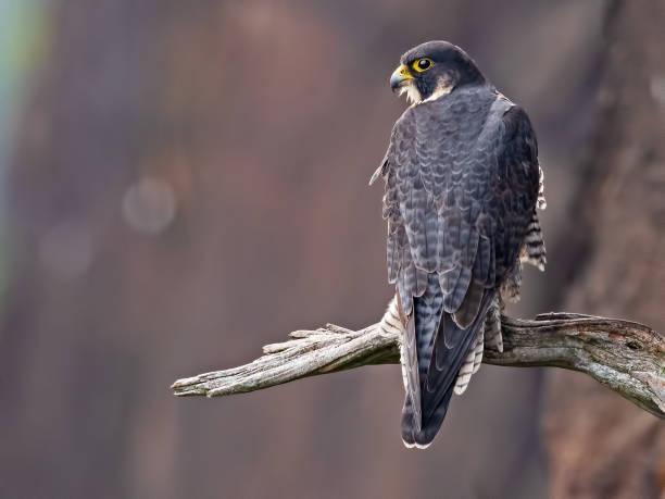 Peregrine Falcon sitting in Tree stock photo
