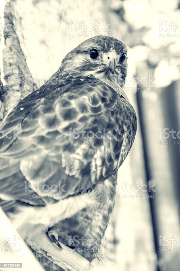 Peregrine Falcon sitting on a branch and looking directly at us. royalty-free stock photo