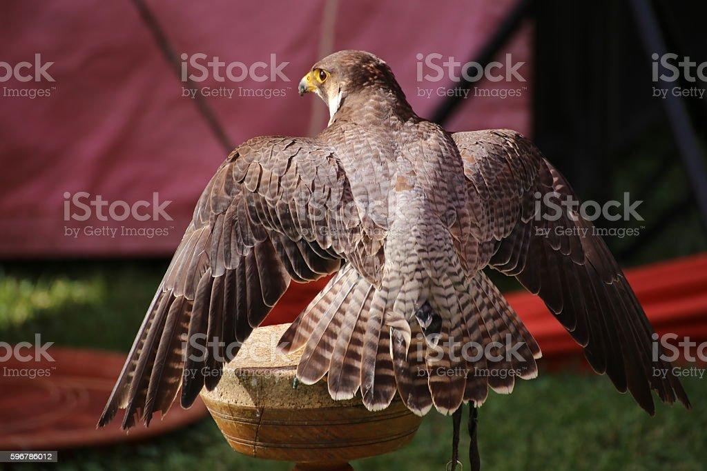 Peregrine falcon (Falco peregrinus) sitting on a wooden platform stock photo