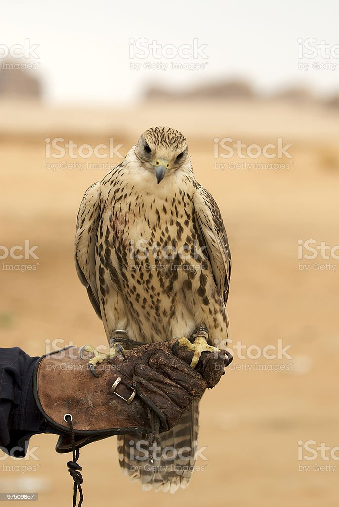 Peregrine falcon standing on his trainer's gloves looking downwards royalty-free stock photo