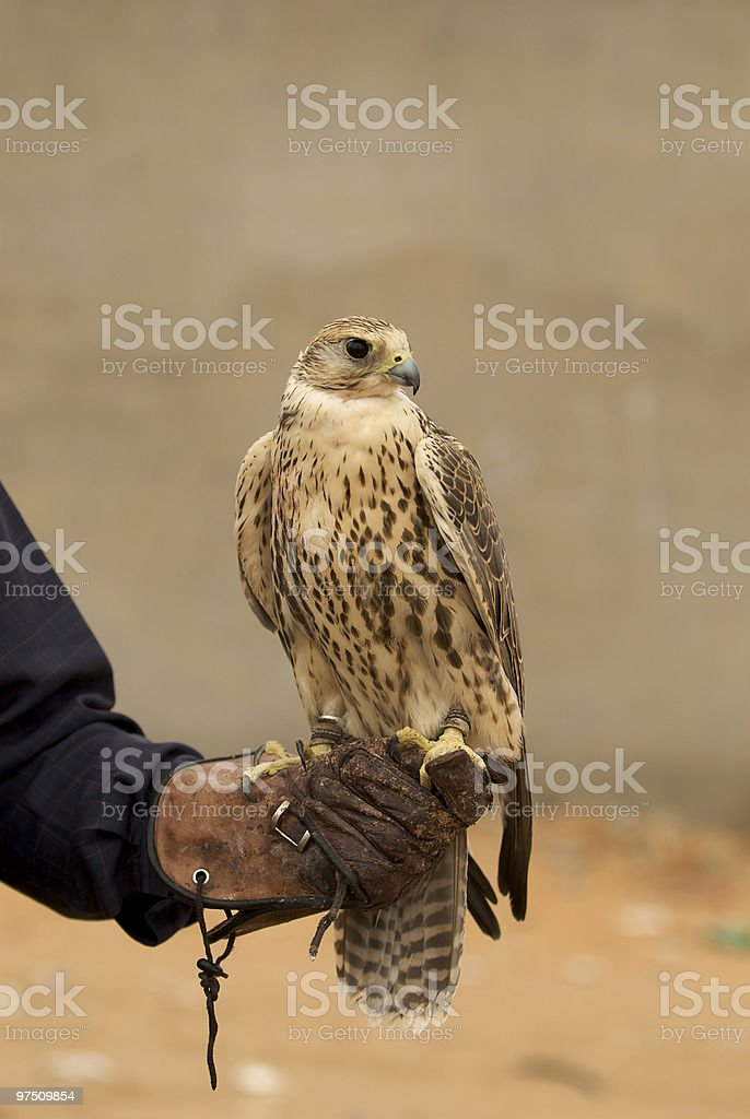 Peregrine falcon standing on his trainer's gloves royalty-free stock photo