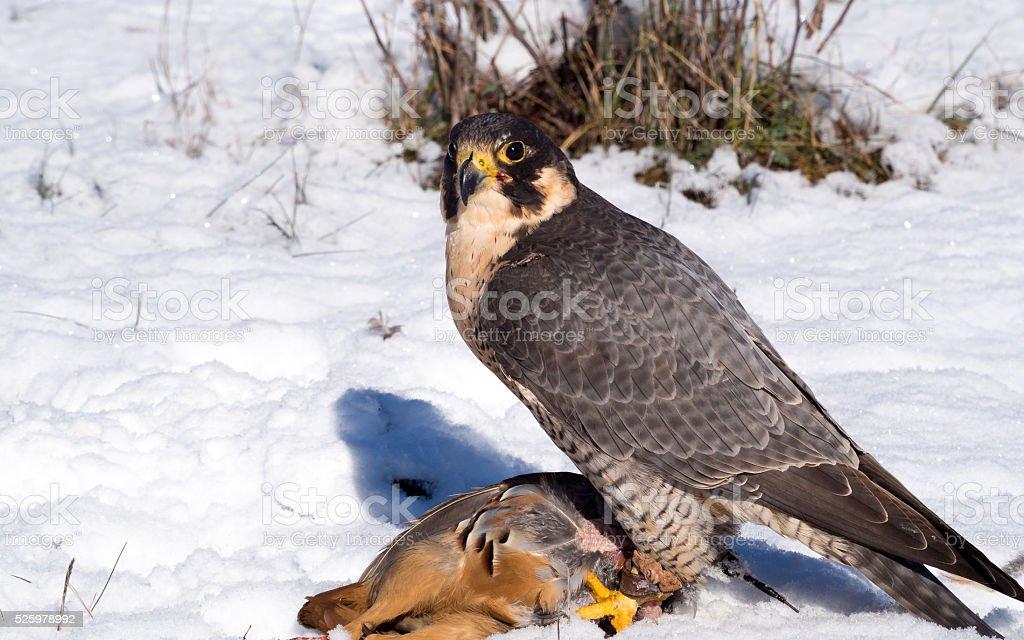 Peregrine falcon with its partridge prey stock photo